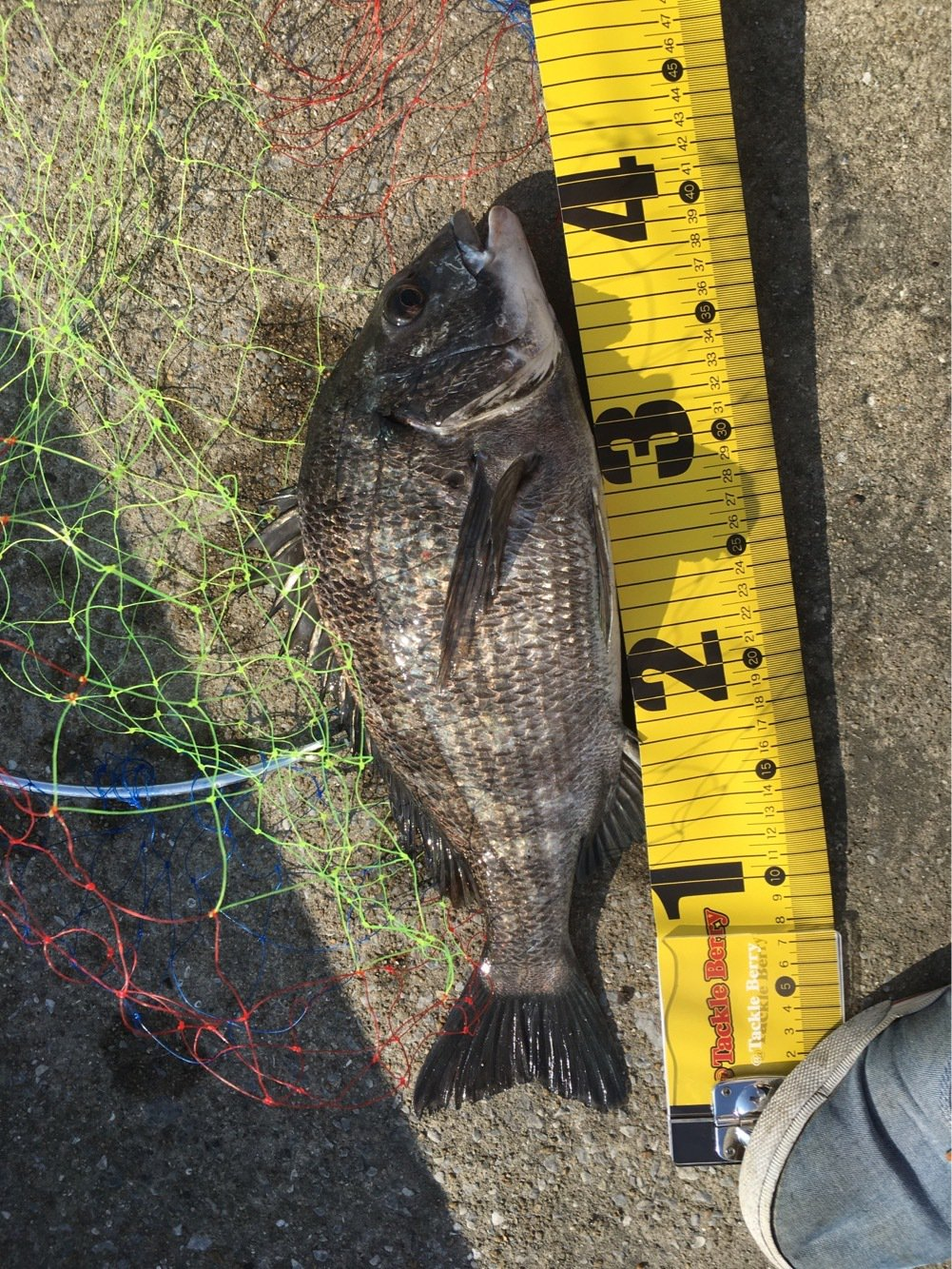 アングラーさんの投稿画像,写っている魚はクロダイ