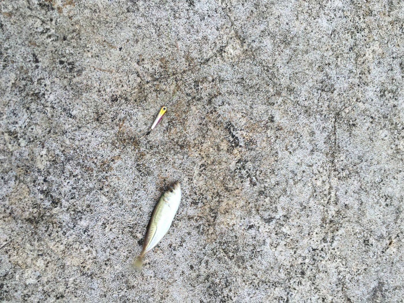 ひろさんの投稿画像,写っている魚はアジ