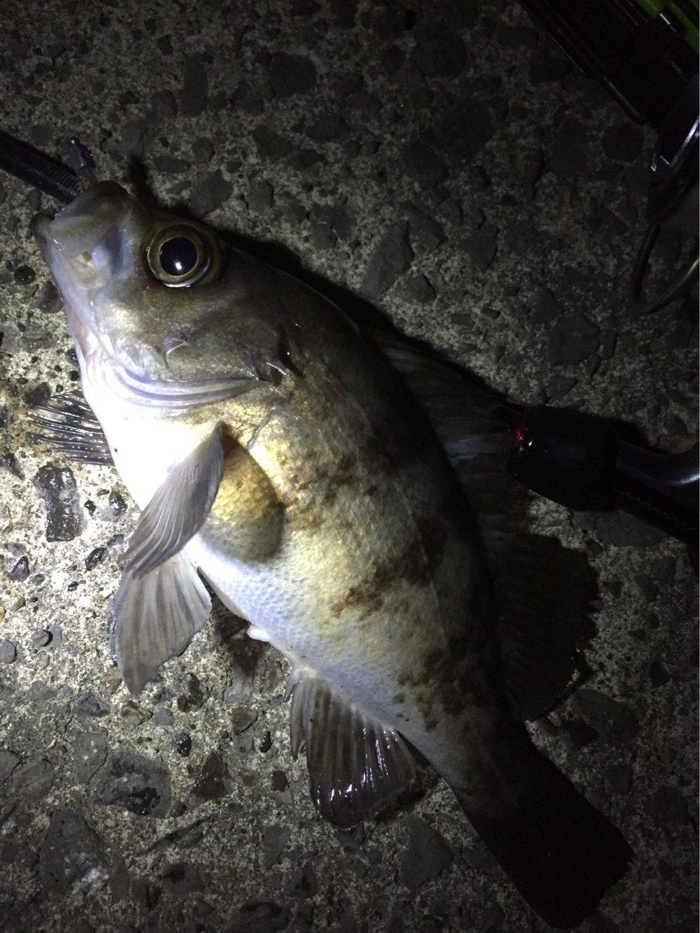 激にぼさんの投稿画像,写っている魚はシロメバル