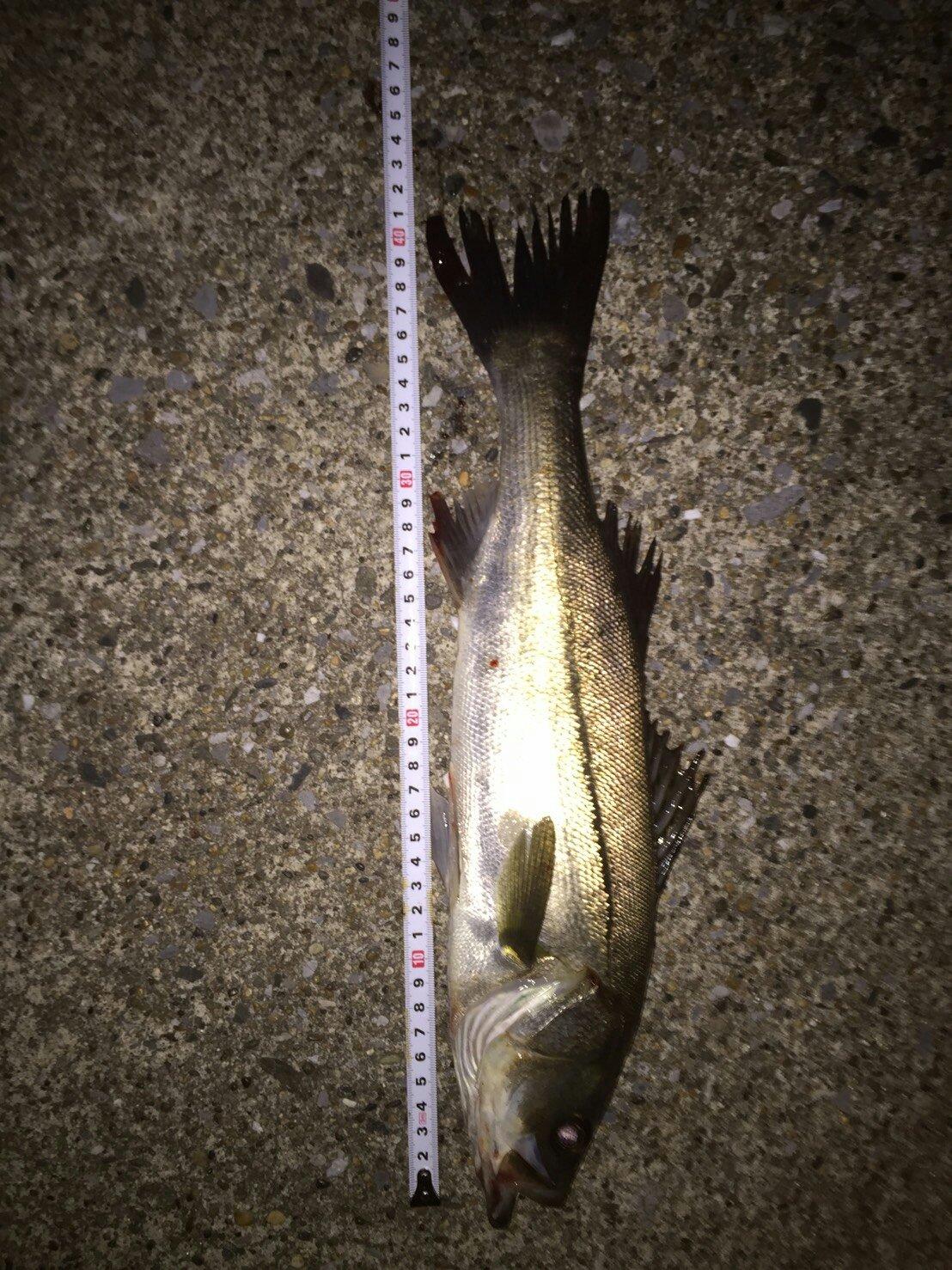 きーぼうさんの投稿画像,写っている魚はスズキ