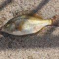 たかぼーさんのタナゴの釣果写真