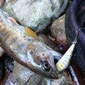 ぽんずさんの熊本県菊池市での釣果写真