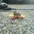 hide(SWS)さんの北海道室蘭市でのカジカの釣果写真