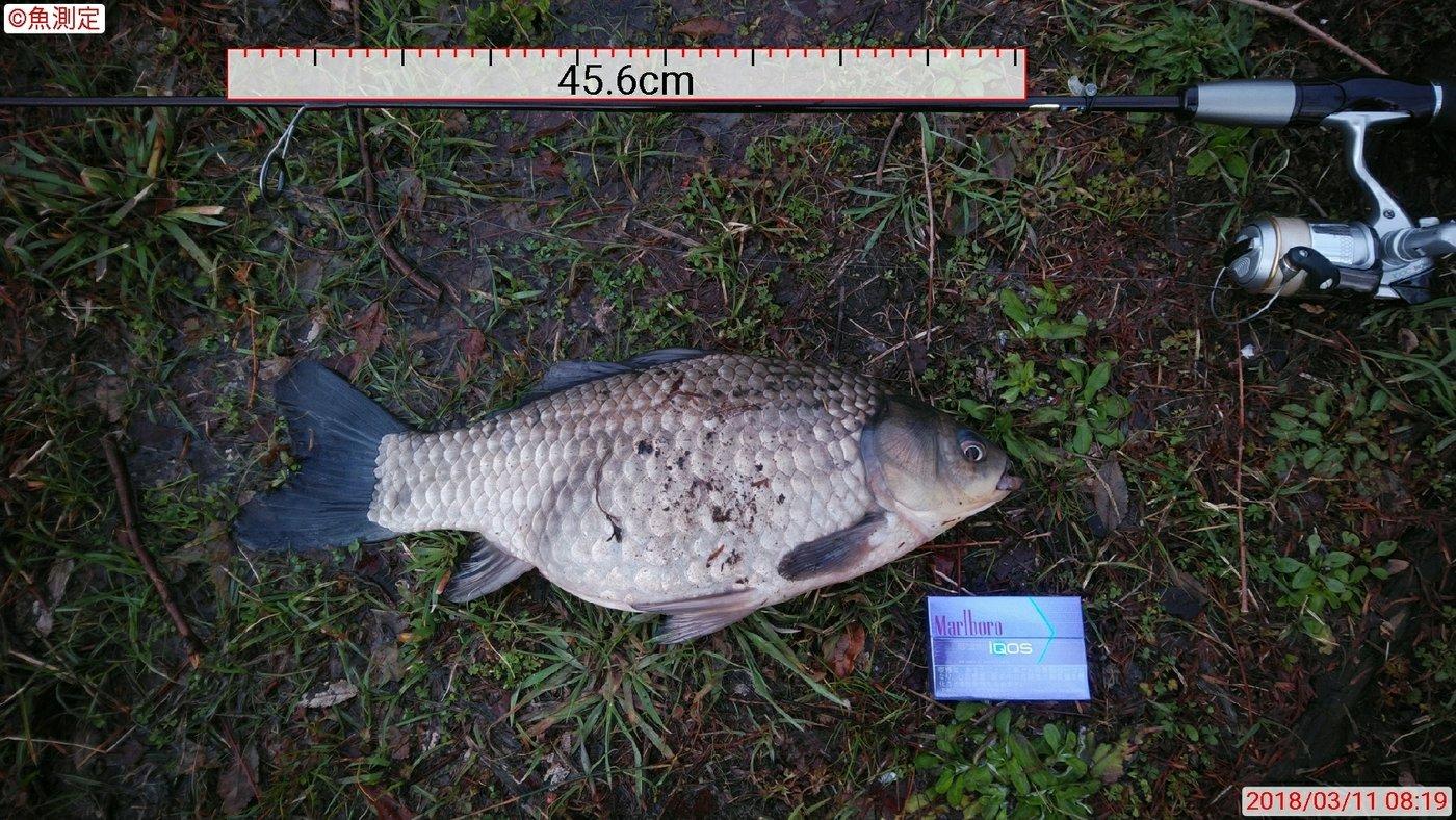 Masahiroさんの投稿画像,写っている魚はヘラブナ,