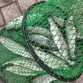 鯰人さんの神奈川県足柄下郡での釣果写真