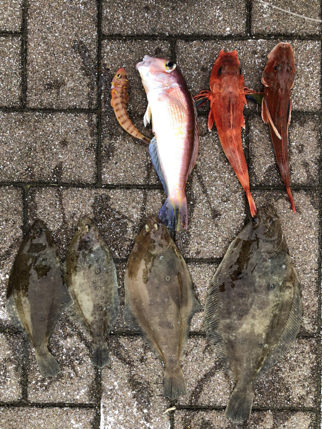 D.Mさんの投稿画像,写っている魚はアマダイ,ムシガレイ,ホウボウ