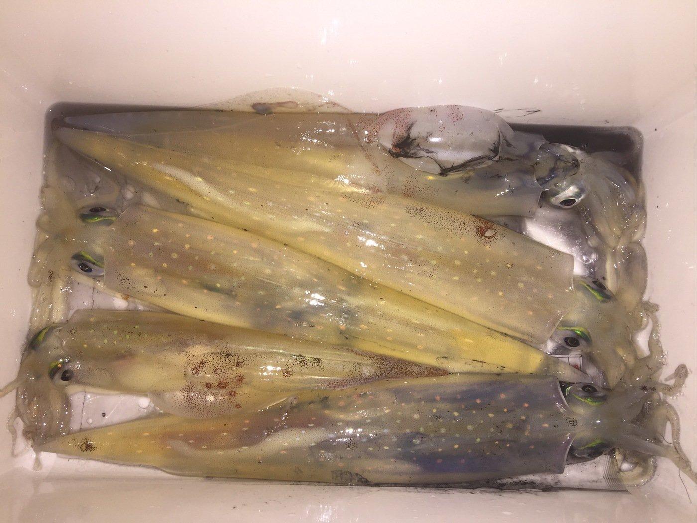 函館 Nさんの投稿画像,写っている魚はヤリイカ