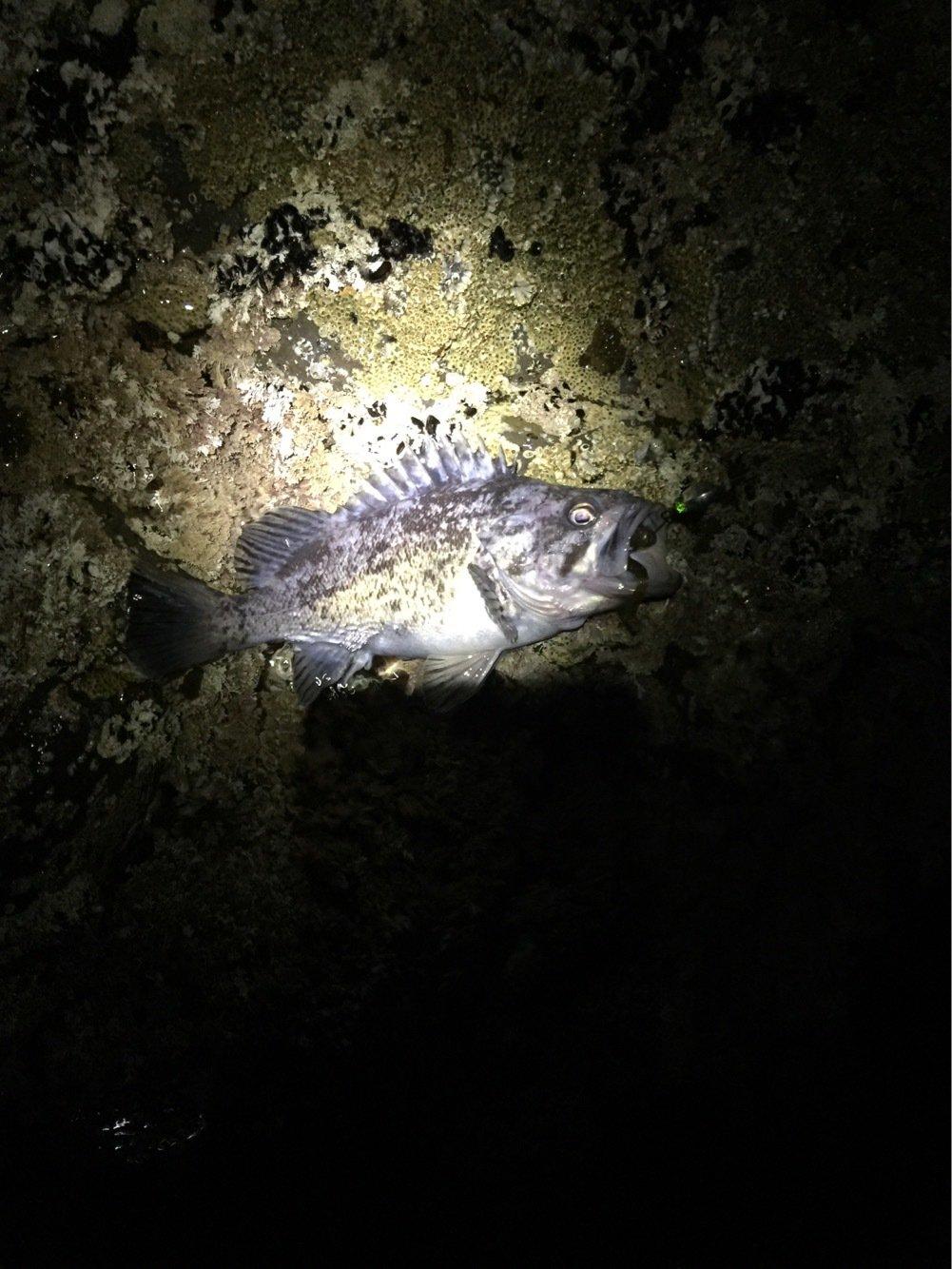 函館 Nさんの投稿画像,写っている魚はクロソイ