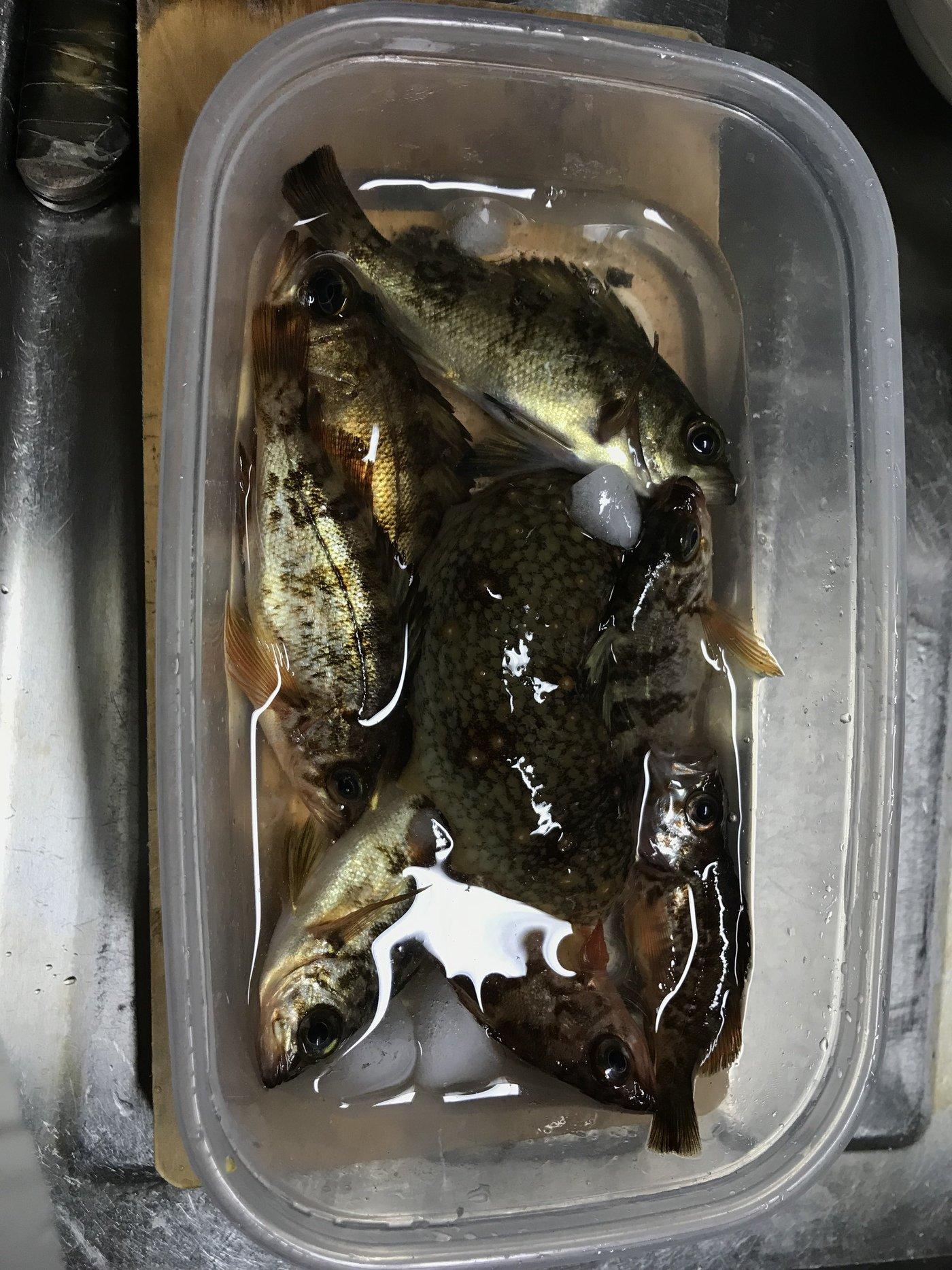 りょーさんの投稿画像,写っている魚はメバル