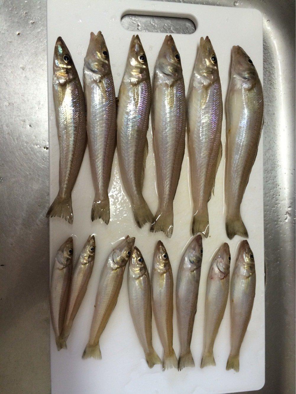 toorumanさんの投稿画像,写っている魚はシロギス