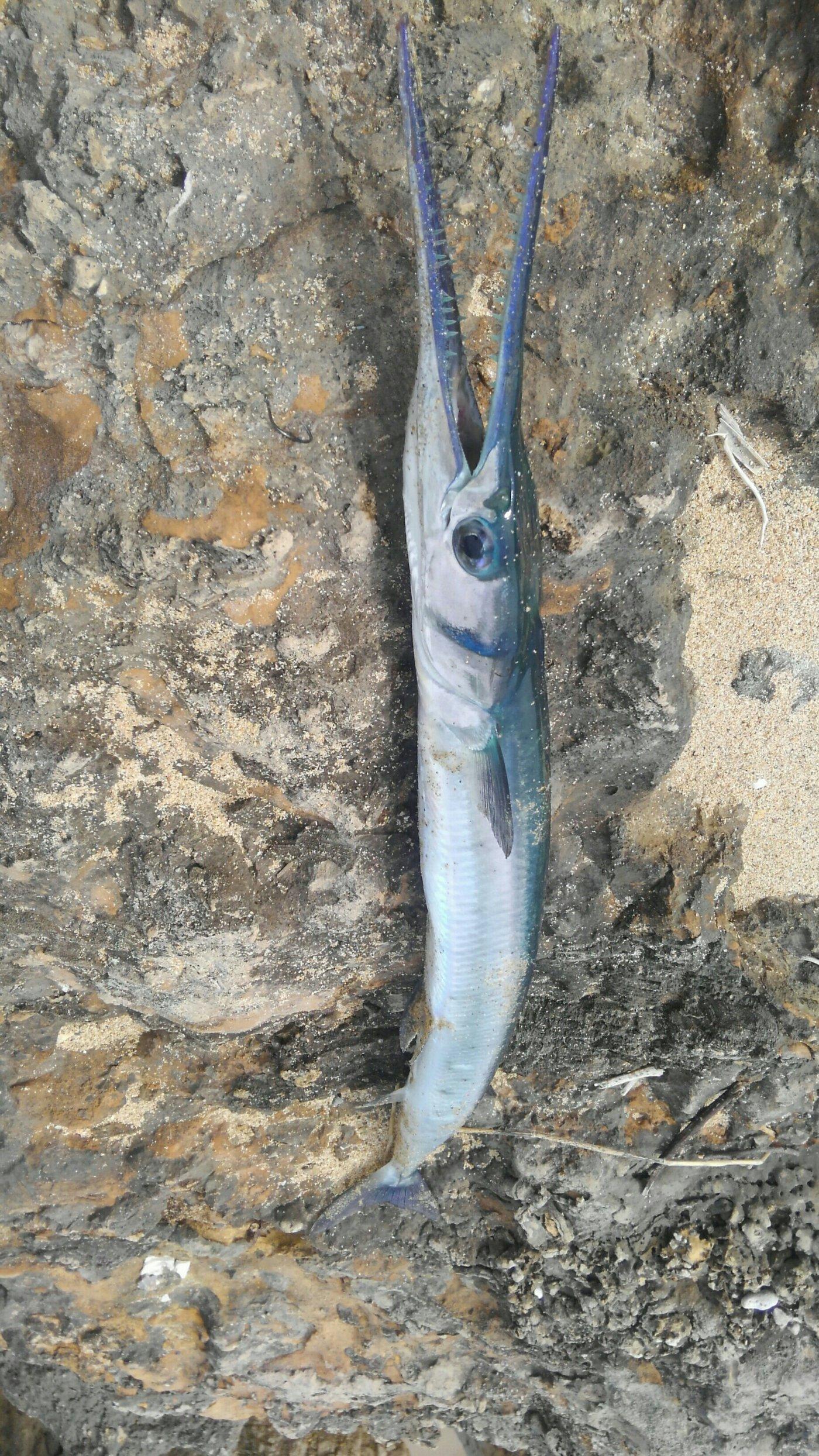 Tokashiki さんの投稿画像,写っている魚はダツ