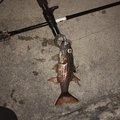 なおさんの沖縄県でのイシモチの釣果写真