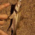 goodloserさんの千葉県鴨川市でのスズキの釣果写真