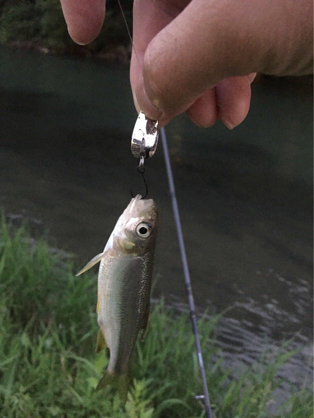 ドドレファンさんの投稿画像,写っている魚はカワムツ