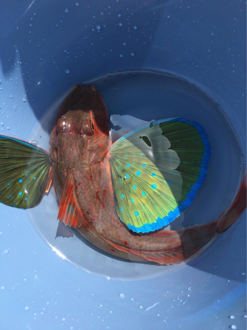 Daisukeさんの投稿画像,写っている魚はホウボウ