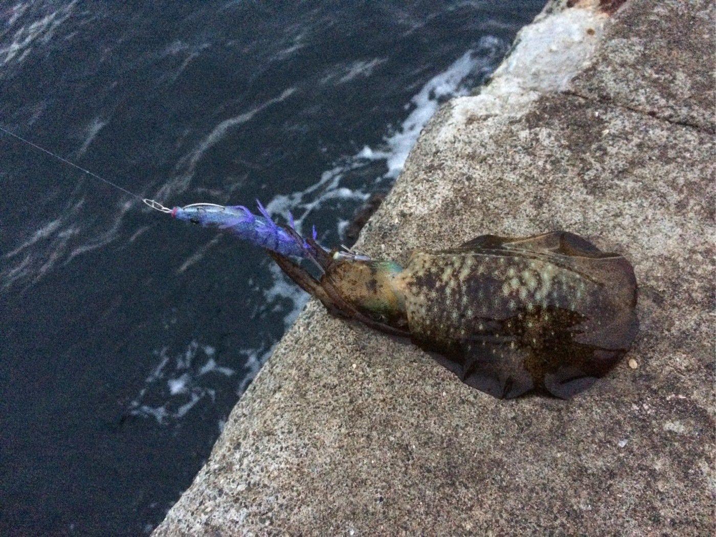 suzutatsuさんの投稿画像,写っている魚はアオリイカ