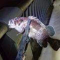 あきもっちゃんさんの青森県でのキツネメバルの釣果写真