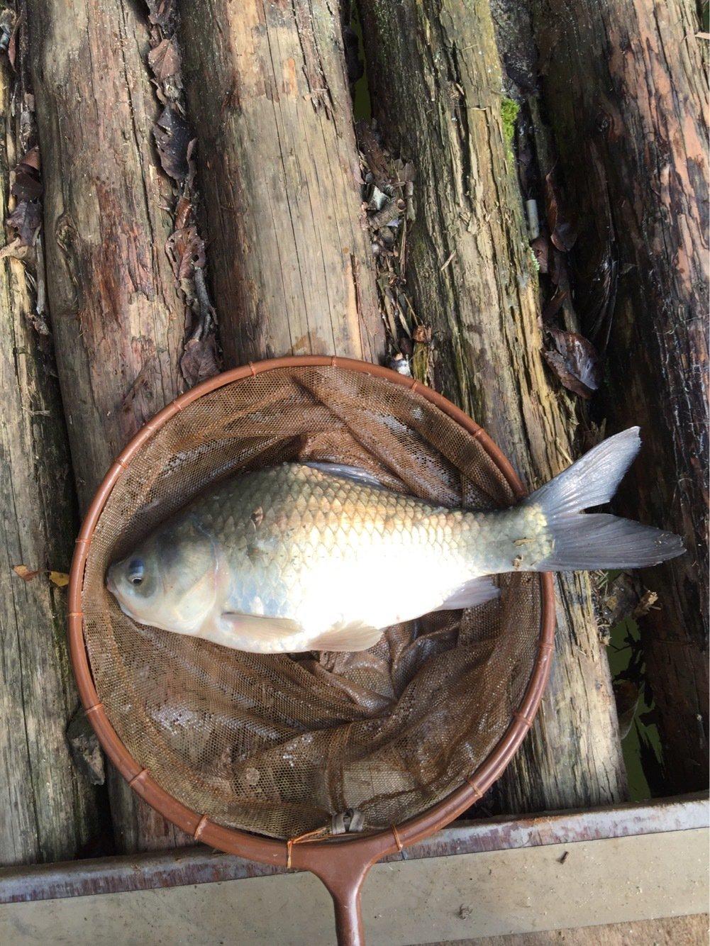 maverickさんの投稿画像,写っている魚はヘラブナ