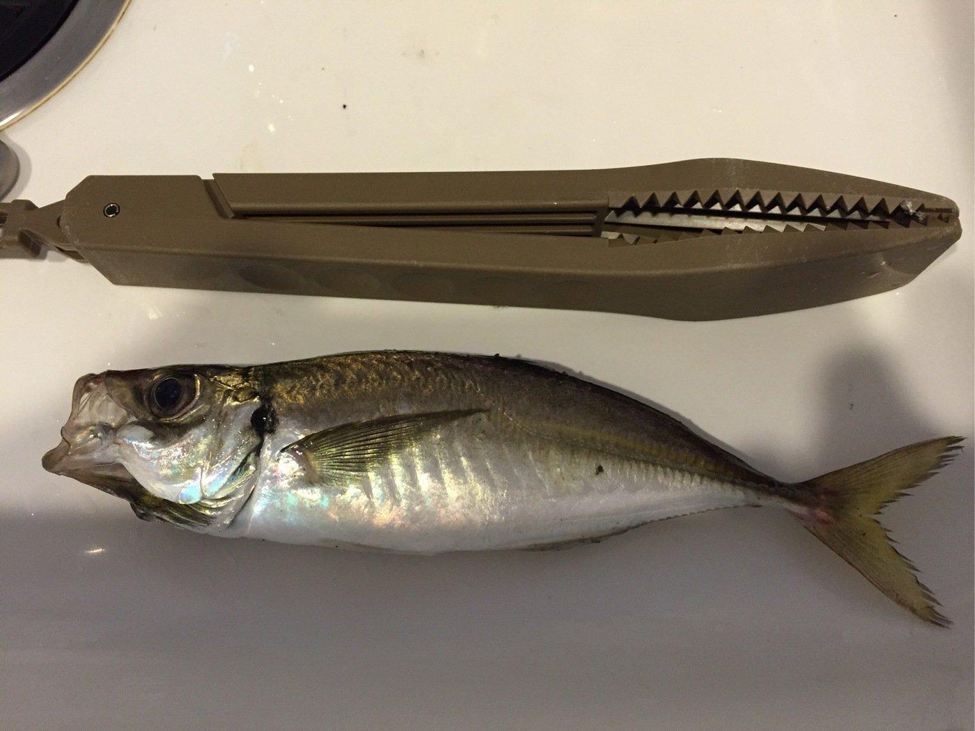 さすらいスティンキーさんの投稿画像,写っている魚はアジ