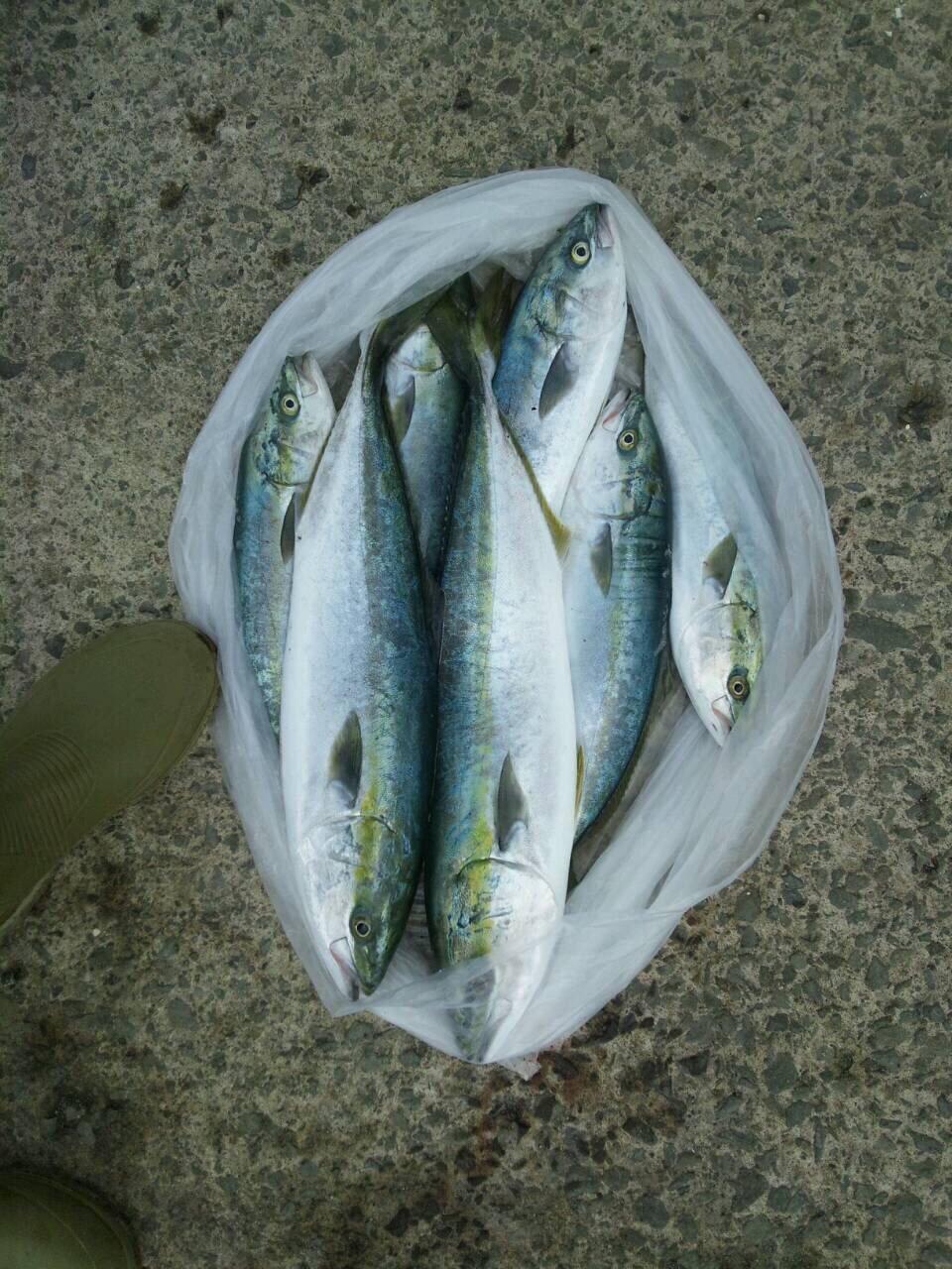 クラゲさんの投稿画像,写っている魚はワラサ