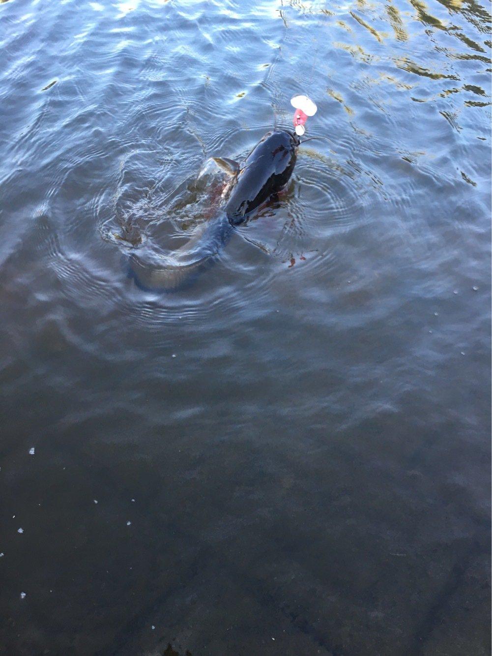 まぶさんの投稿画像,写っている魚はナマズ