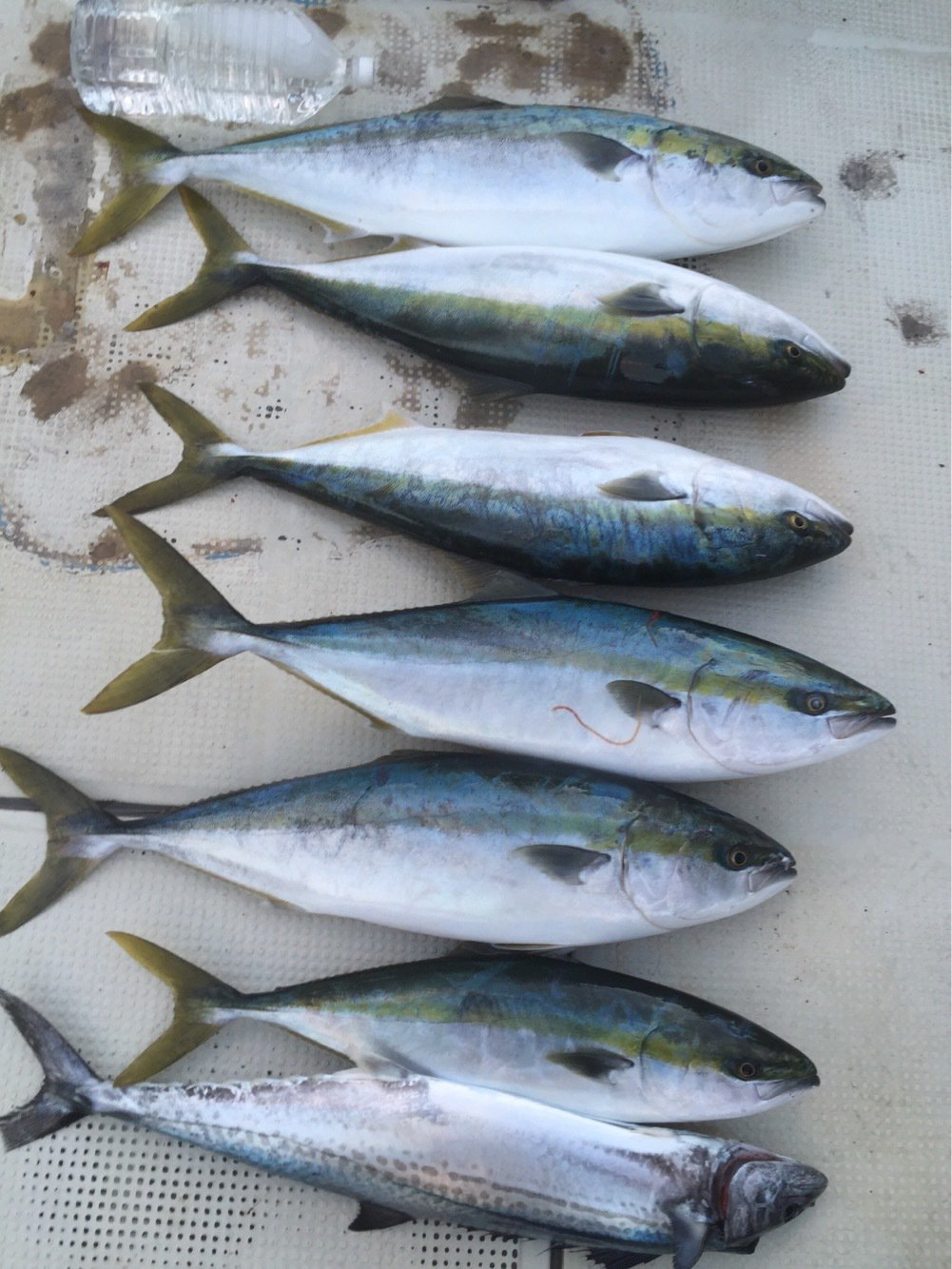 Freemanyoshikiさんの投稿画像,写っている魚はブリ