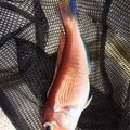 Freemanyoshikiさんの福井県大飯郡での釣果写真