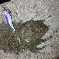 (´༎ຶོρ༎ຶོ`)さんの愛媛県松山市でのコウイカの釣果写真