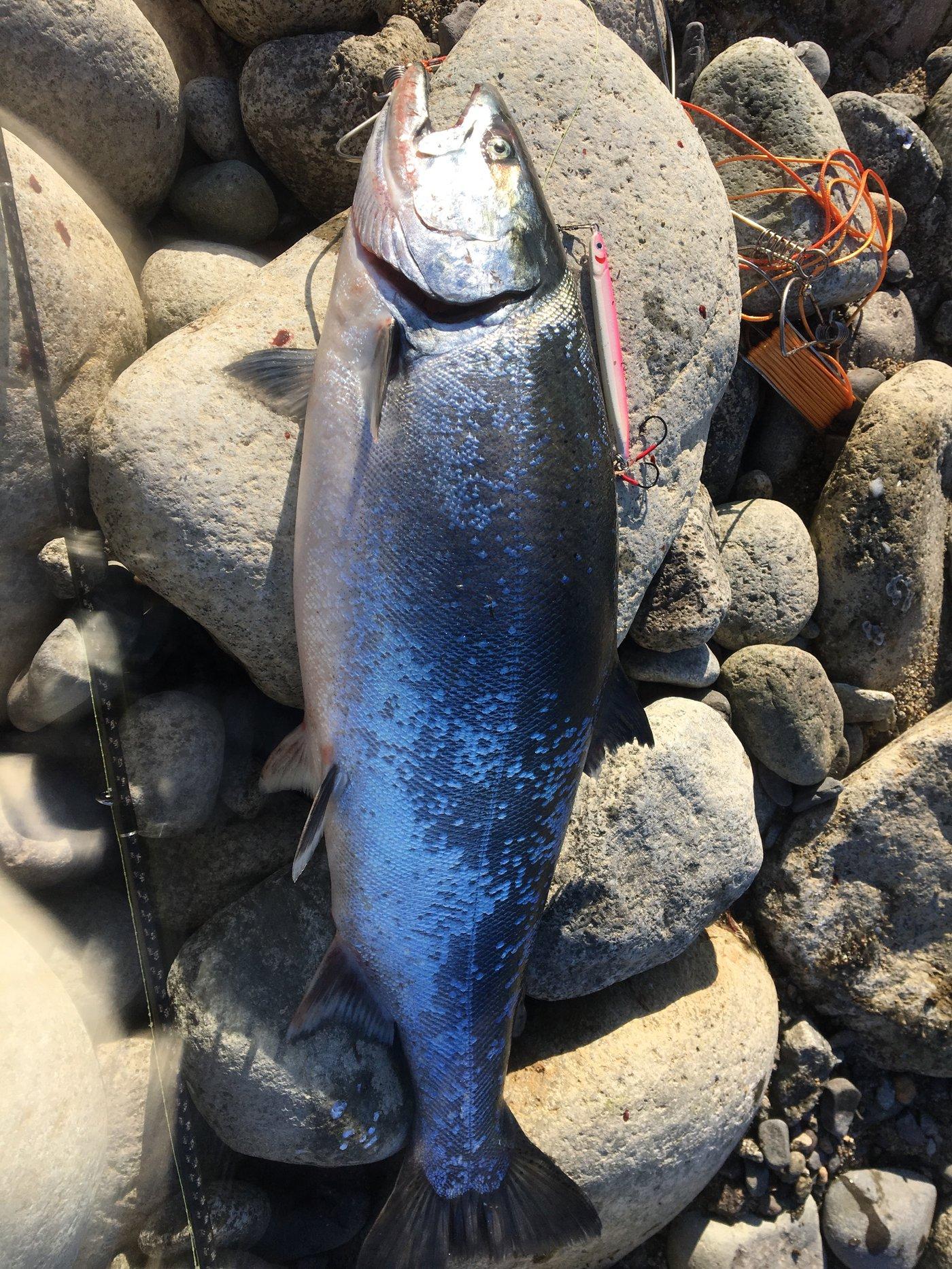 MOQさんの投稿画像,写っている魚はサクラマス