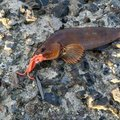 よしゆきさんの北海道函館市でのアイナメの釣果写真