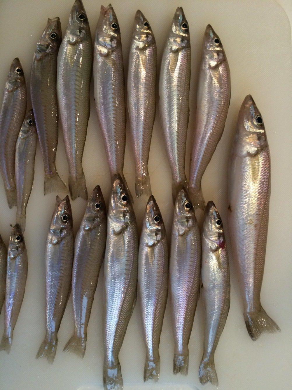 ヘリオスさんの投稿画像,写っている魚はシロギス