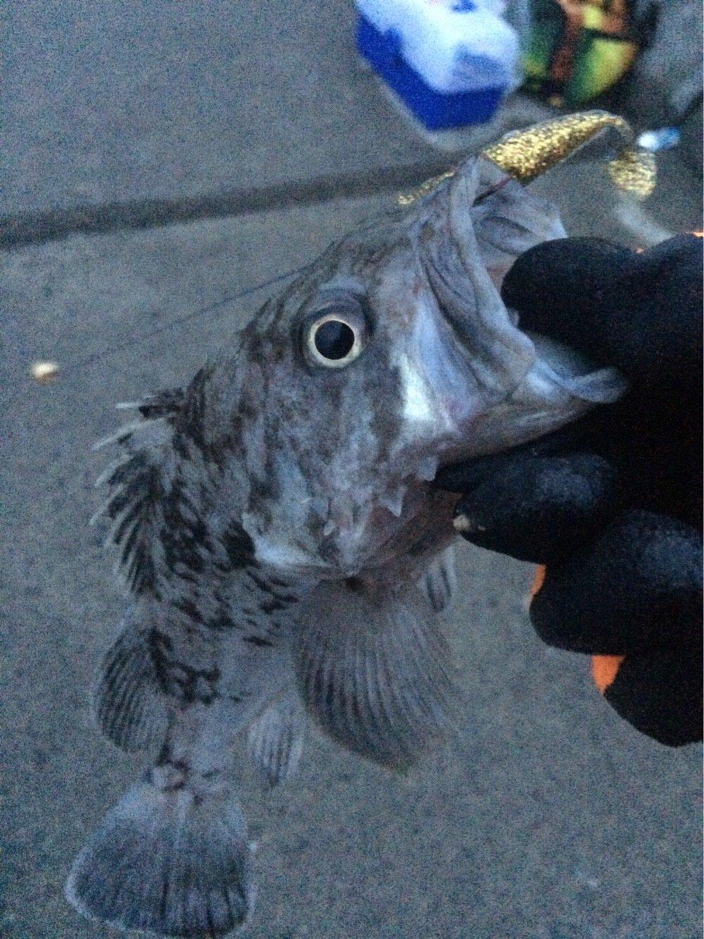 たーちんさんの投稿画像,写っている魚はキツネメバル