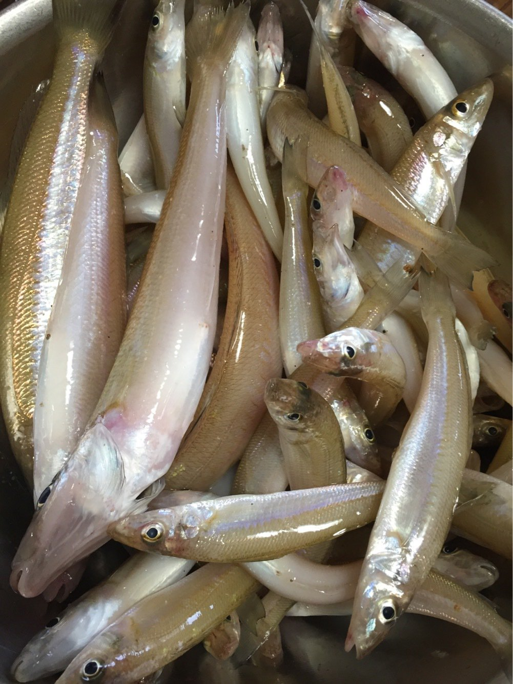 Tamotsu.Nakanoさんの投稿画像,写っている魚はシロギス