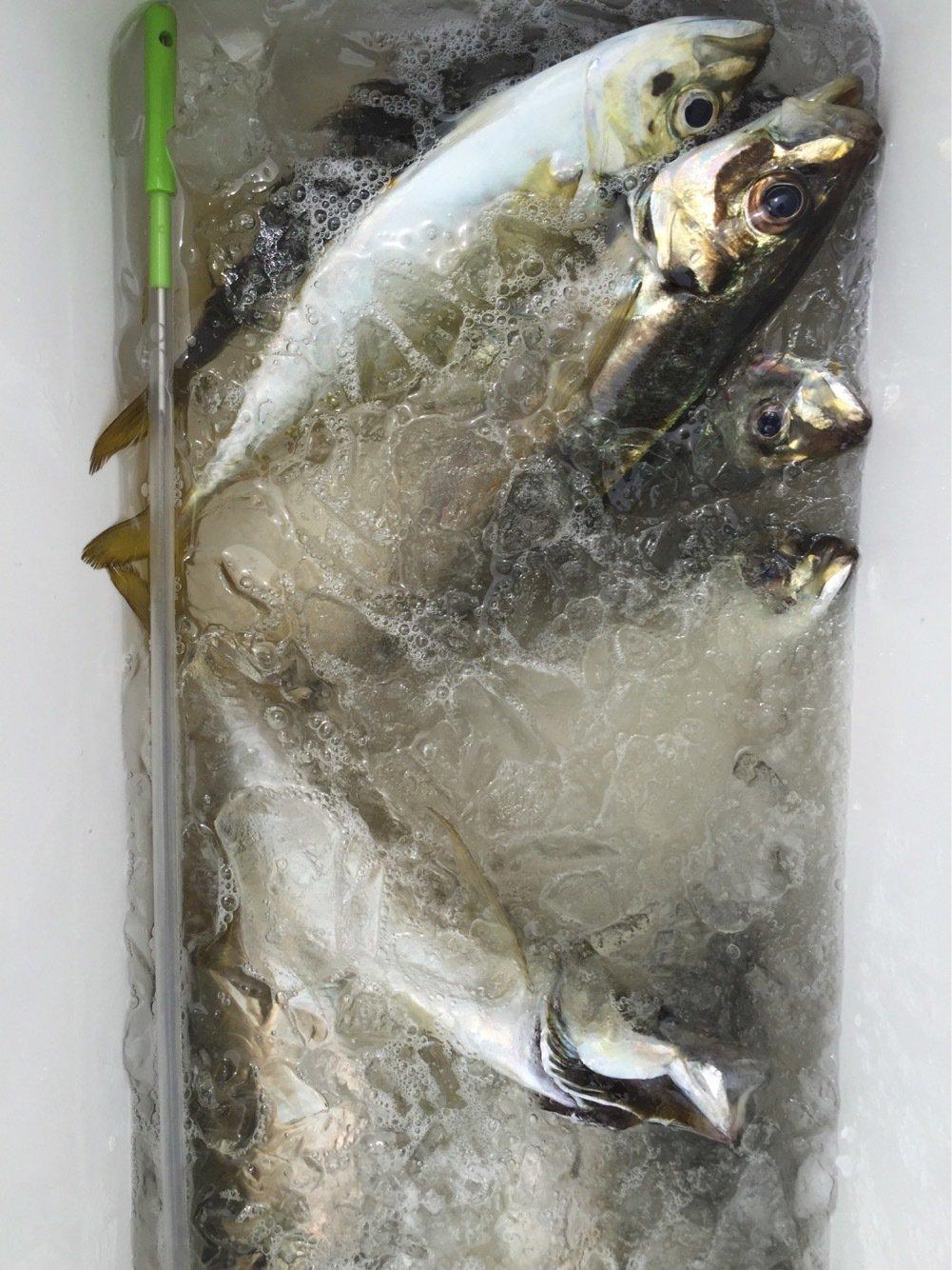 とみーさんの投稿画像,写っている魚はアジ