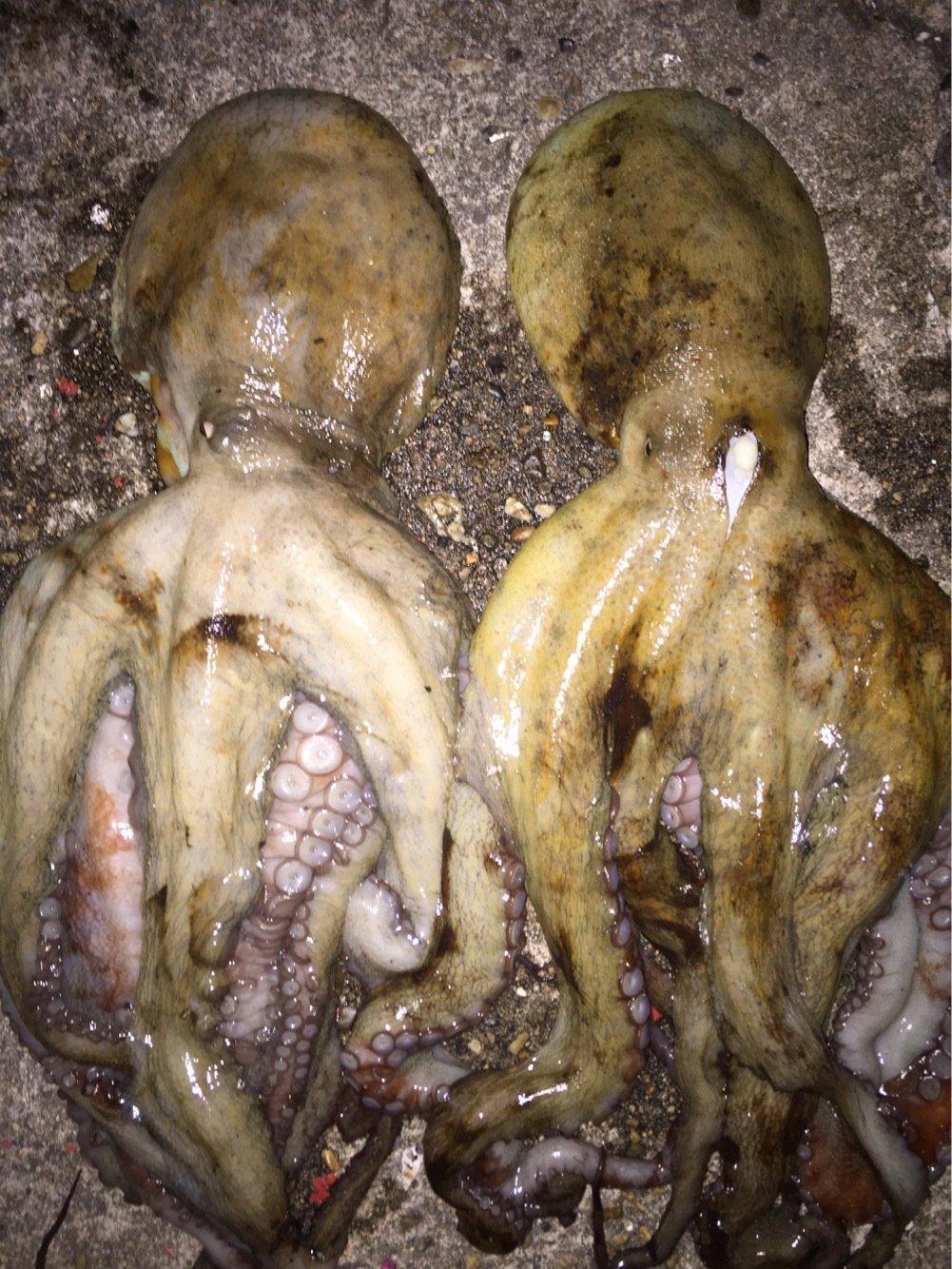 ヨッシーK2さんの投稿画像,写っている魚はマダコ