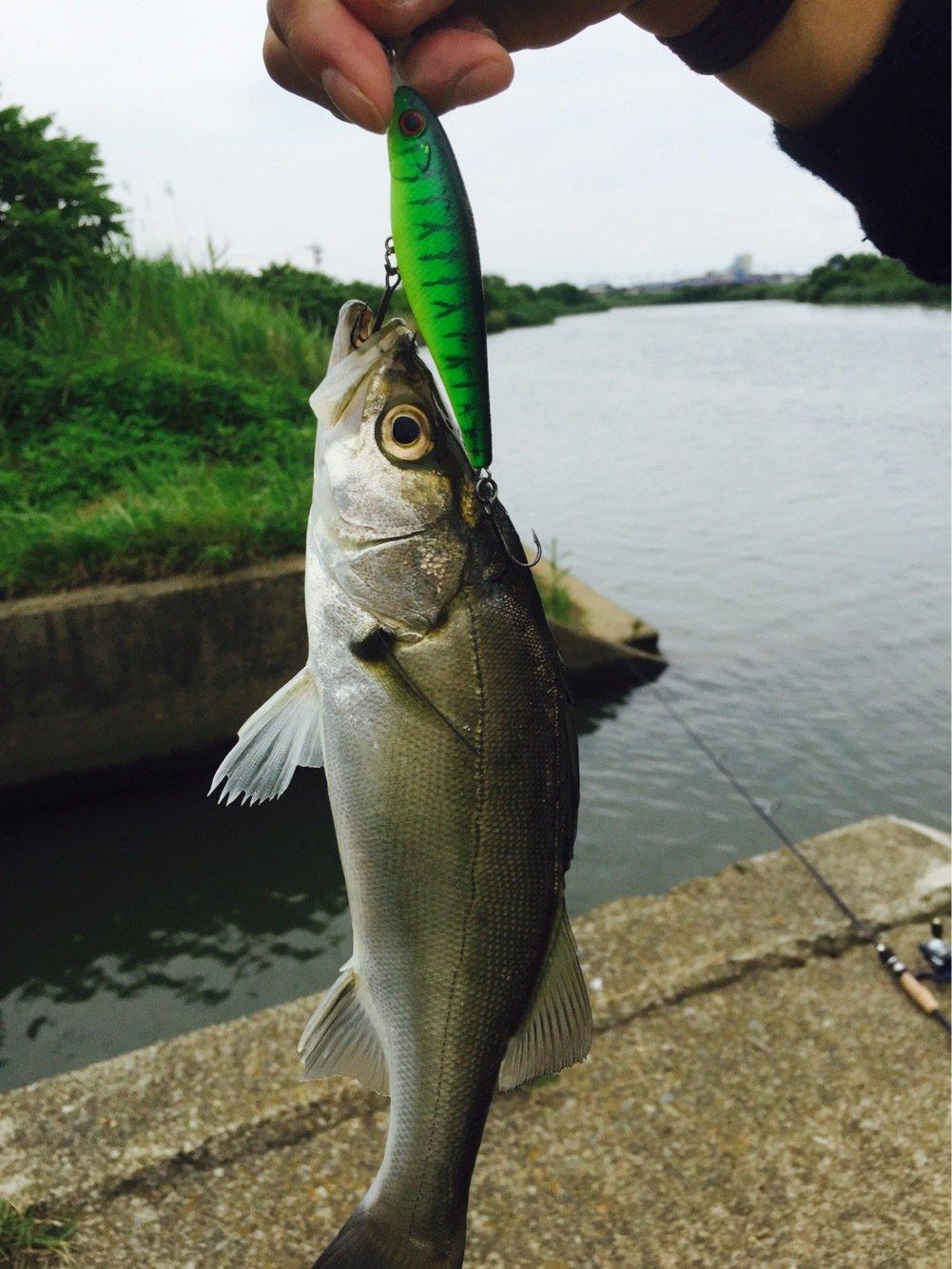 つよしさんの投稿画像,写っている魚はスズキ