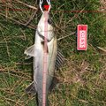 mikiyaさんの福岡県古賀市でのスズキの釣果写真