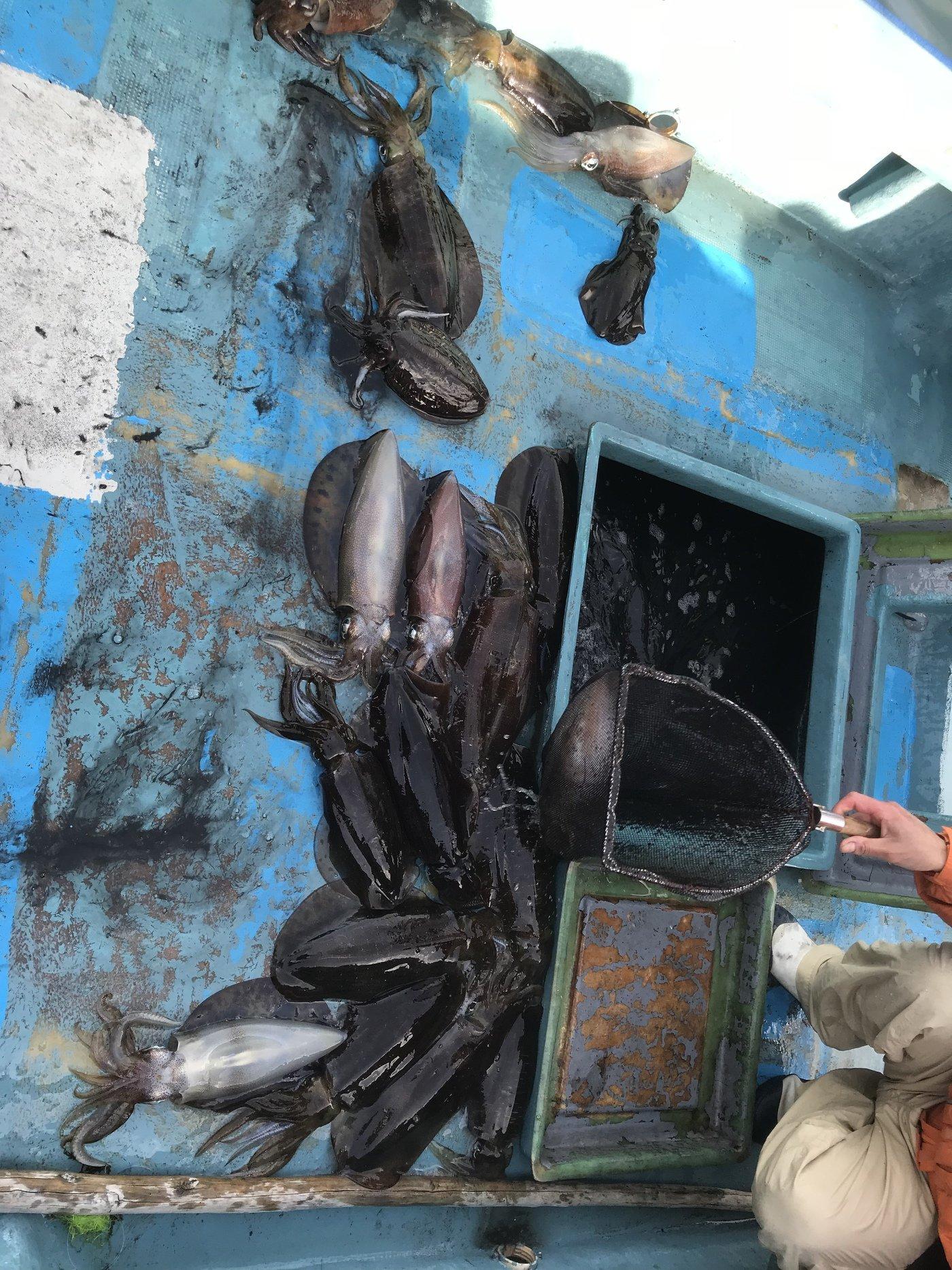 神保さんさんの投稿画像,写っている魚はアオリイカ,コウイカ