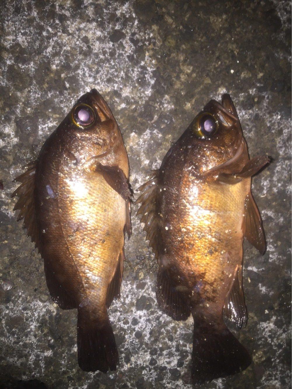 かずよさんの投稿画像,写っている魚はメバル