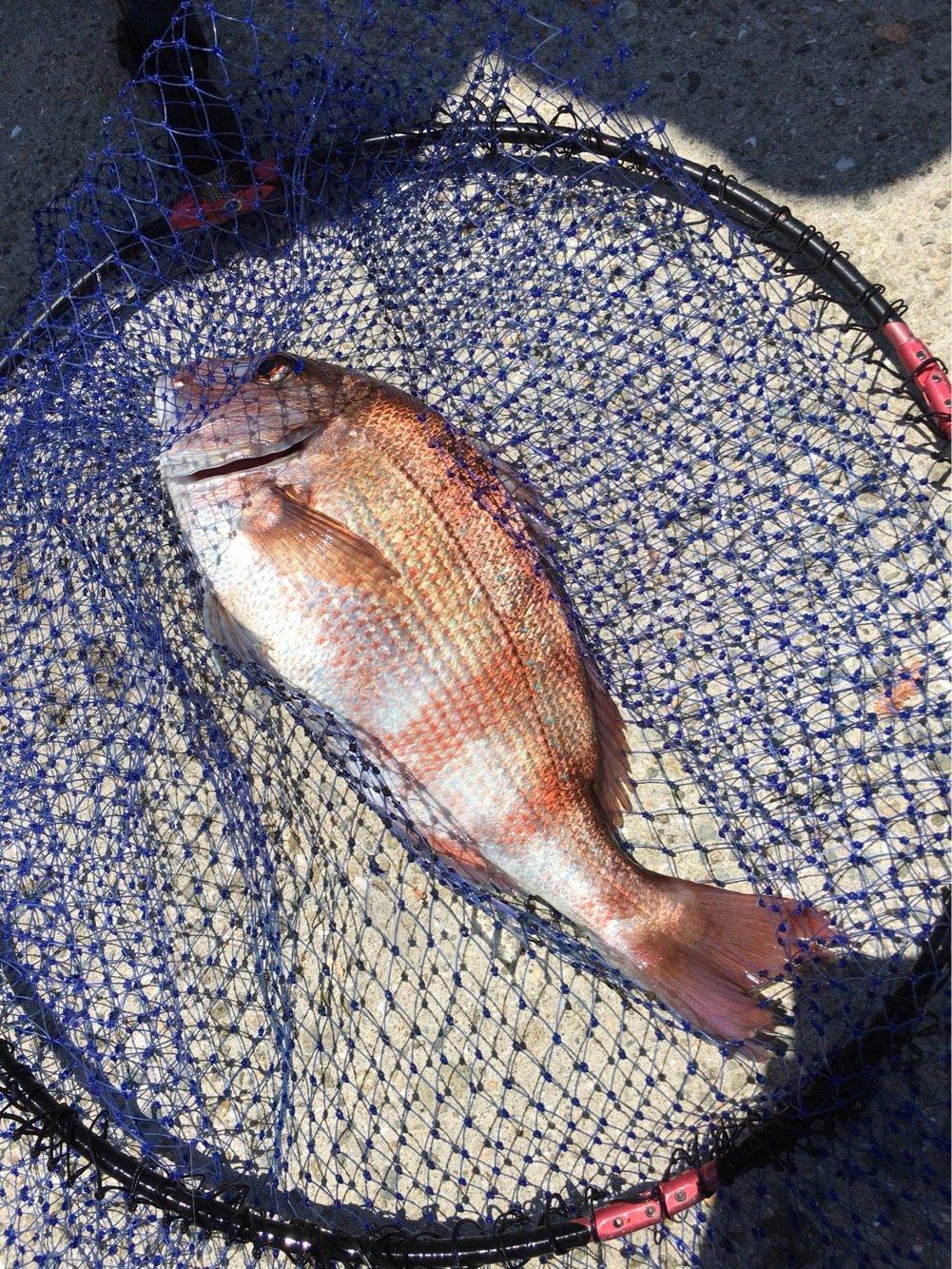 よしいさんの投稿画像,写っている魚はマダイ