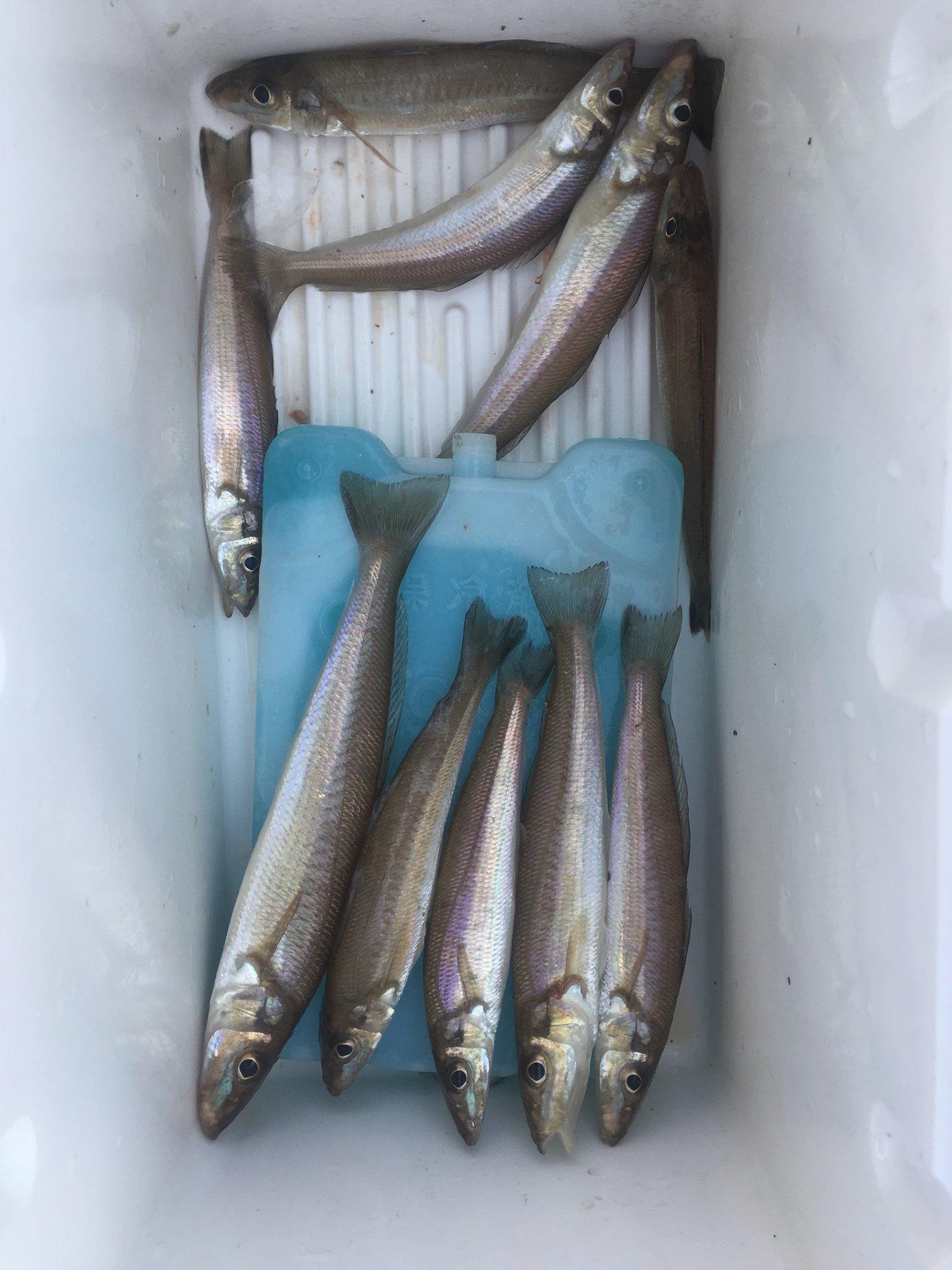 剣史さんの投稿画像,写っている魚はシロギス