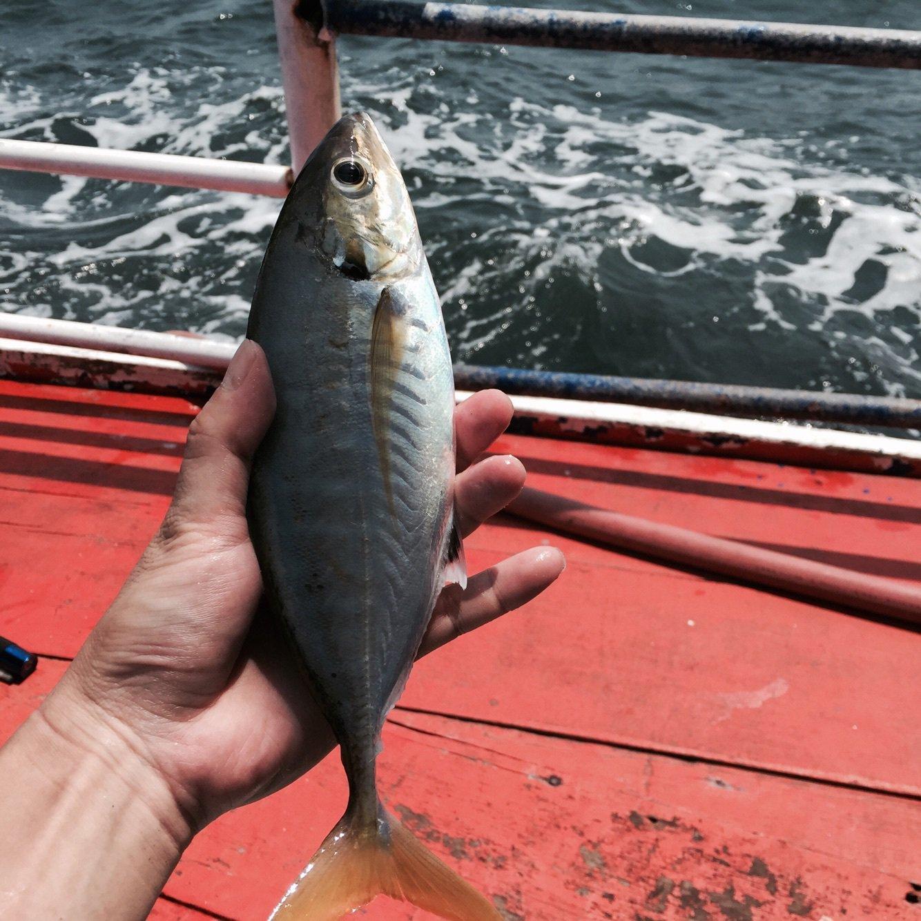 ぴゅぴゅさんの投稿画像,写っている魚はアジ