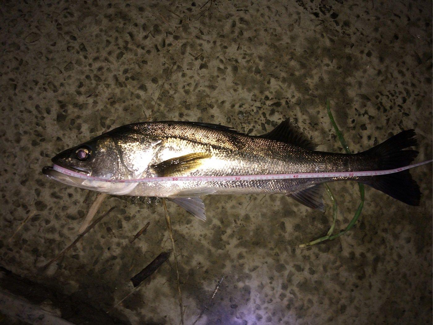影武者 Kさんの投稿画像,写っている魚はスズキ