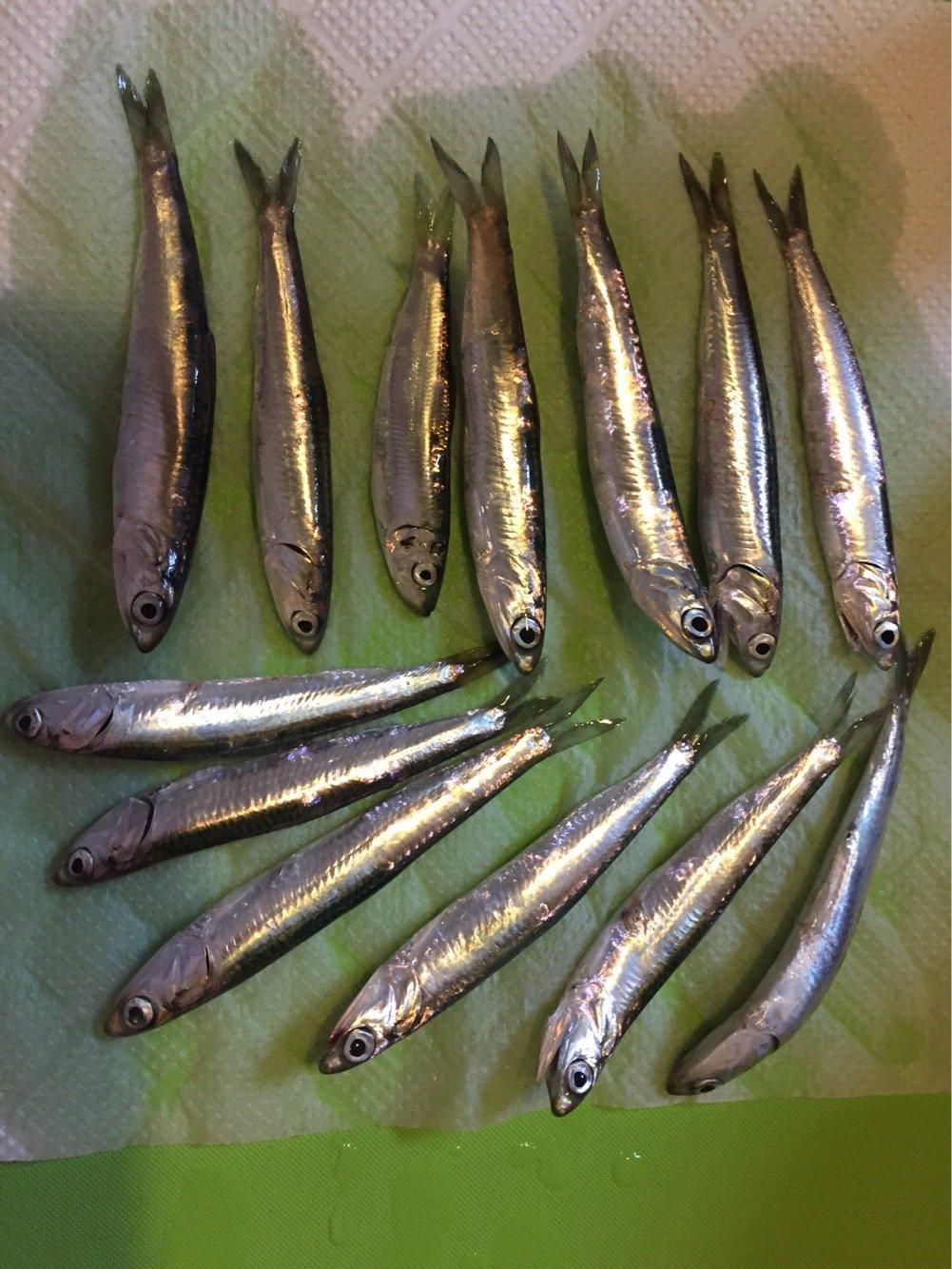 さぼ侍さんの投稿画像,写っている魚はカタクチイワシ