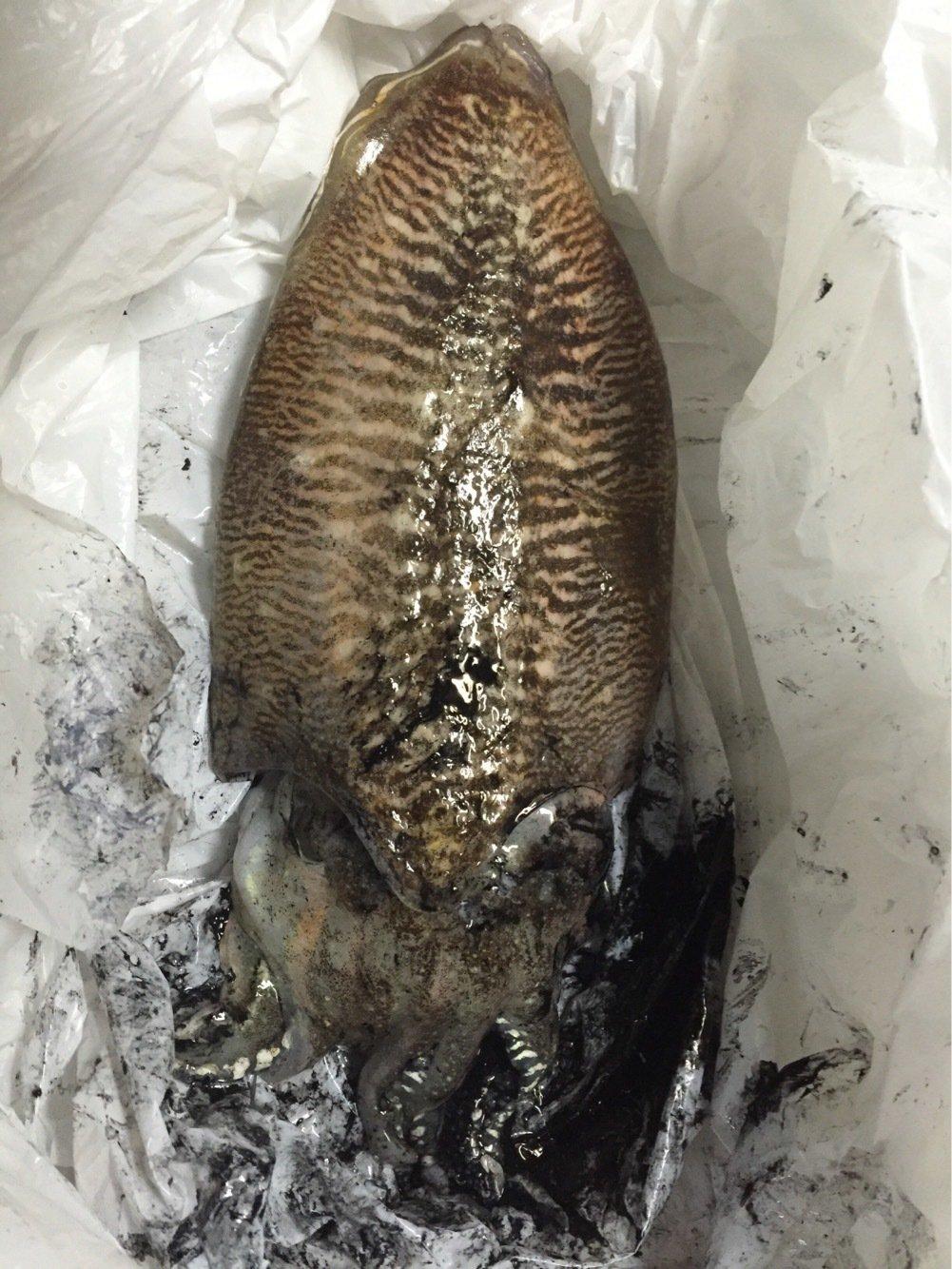 モコちゃんさんの投稿画像,写っている魚はコウイカ