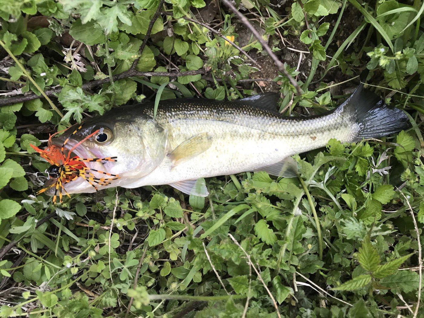 イトさんの投稿画像,写っている魚はブラックバス