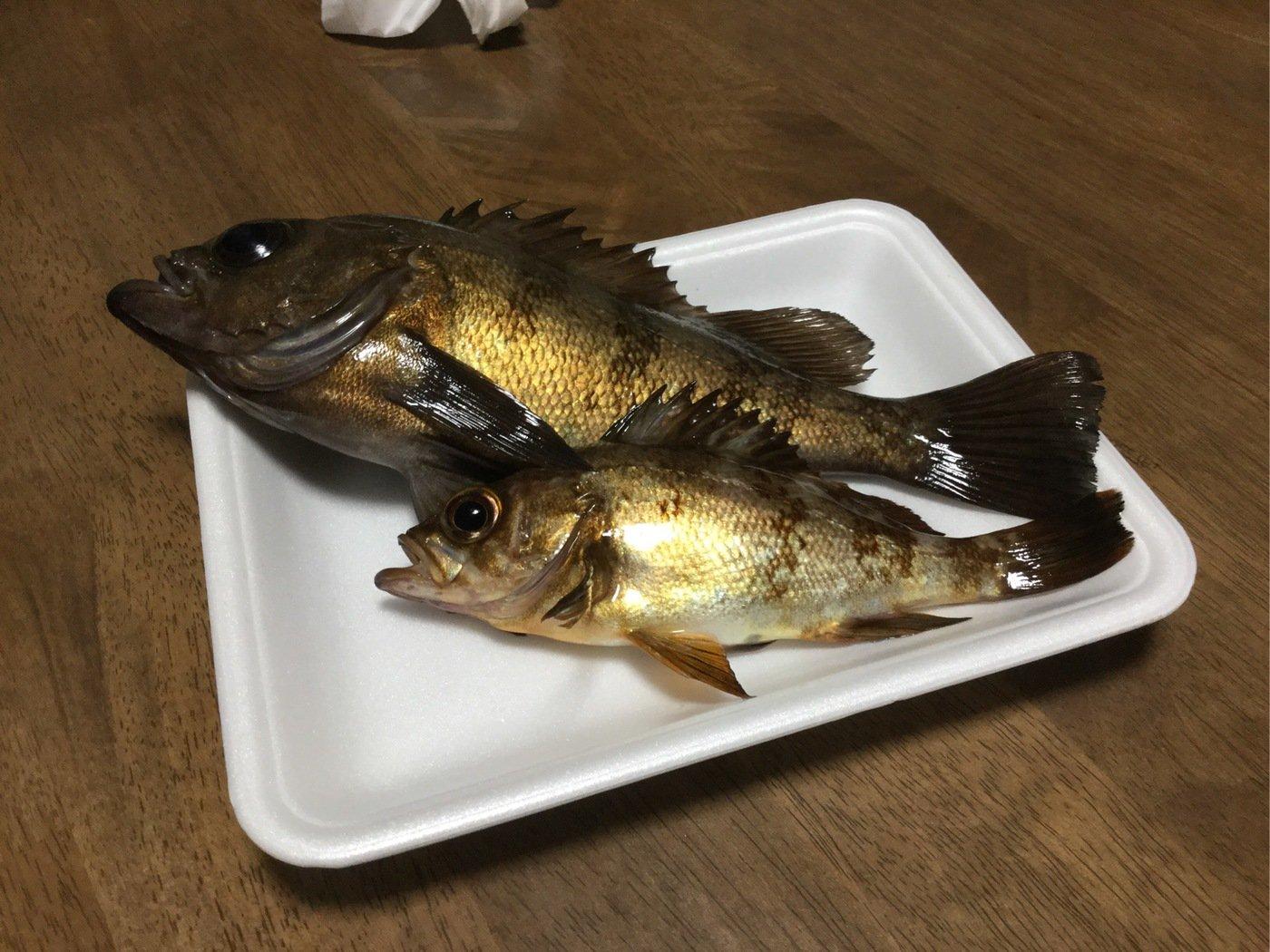 釣り好きな島人さんの投稿画像,写っている魚はメバル