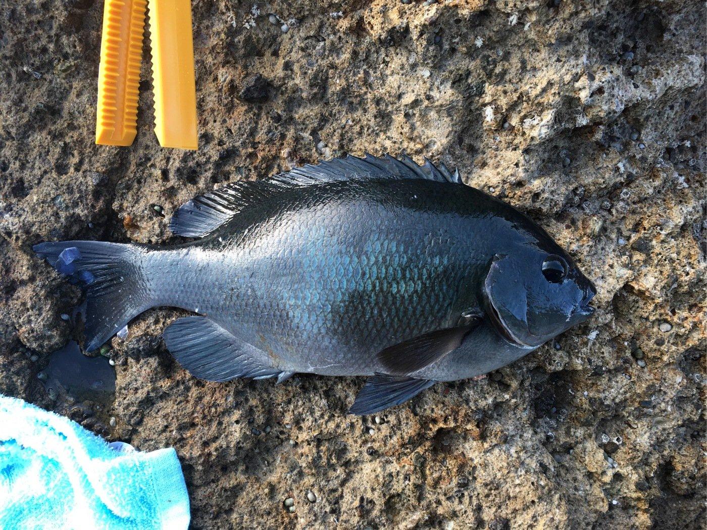 tsurikichigopeiさんの投稿画像,写っている魚はメジナ