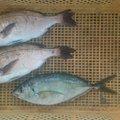 つさんの福岡県築上郡での釣果写真