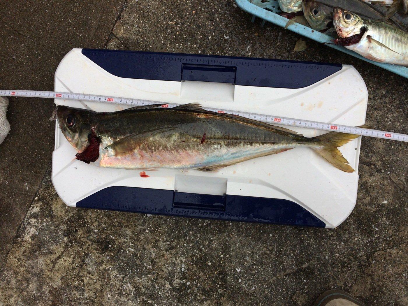 あまなつとーさんさんの投稿画像,写っている魚はアジ